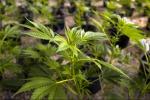 Droga: coltivava canapa indiana su terrazzo casa, arrestato
