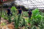 Taurianova, 12mila piante di canapa in un fondo agricolo