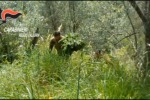 Maxi piantagione di canapa scoperta dai carabinieri