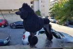 """Tropea dog show"", vince Ciaikovskij - FOTO"