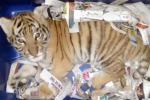 Cucciolo di tigre sedato e spedito in un pacco postale