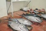 Sequestrati 800 kg di tonno rosso a Villafranca
