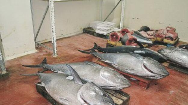 sequestro, tonno rosso, Messina, Archivio