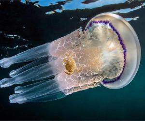 Le meduse possono irritare la pelle anche a distanza