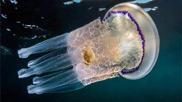 mare, meduse, Scienza Tecnica