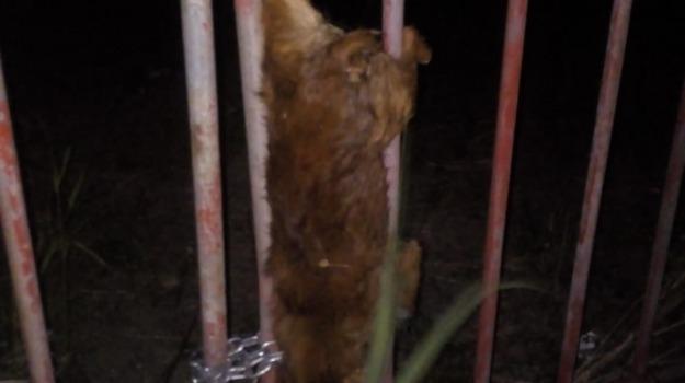 cane morto, inferriata cancello, lido squillace, Catanzaro, Calabria, Archivio