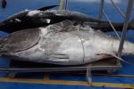 Sequestrate più di 15 tonnellate di prodotti ittici