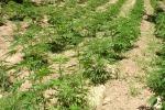 Scoperte due piantagioni di canapa
