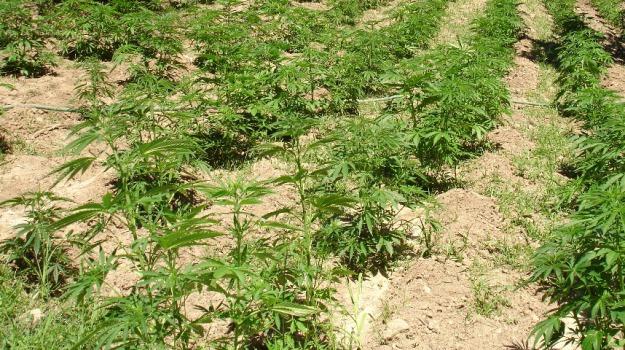 bovalino, marijuana, piantagioni, reggio, siderno, Reggio, Calabria, Archivio