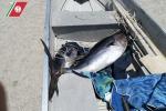 Sequestrati 100 chili di prodotto ittico