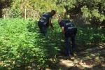 Sequestrata una rigogliosa piantagione di cannabis