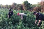 Sequestrata maxi piantagione di canapa indiana , due arresti