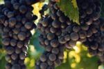 Vino: etichetta Nero d'Avola solo se prodotto in Sicilia
