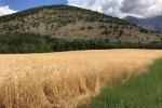 Granaio d'Italia, cala superficie ma produzione resta 4,2 milioni tonnellate