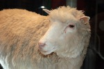 La pecora Dolly nasceva 20 anni fa (fonte: Toni Barros, Sao Paolo, Brasil)