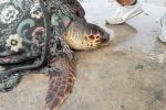 Ambiente: tartaruga Caretta da 60 kg salvata da reti pesca