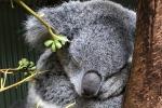 Australia, l'allarme del Wwf: koala a rischio estinzione