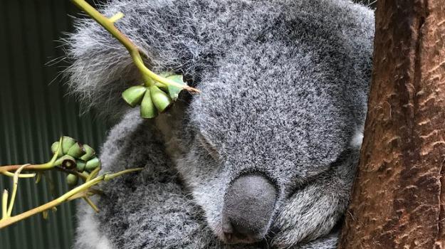 australia, estinzione, koala, wwf, Sicilia, Mondo