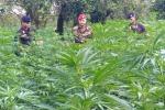 Scoperti 28 mila arbusti canapa indiana