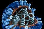 Rappresentazione grafica del viris dell'influenza (fonte: Doug Jordan, M.A, USCDCP, Pixnio)