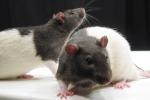 Ratti da laboratorio (fonte: Jason Snyder)