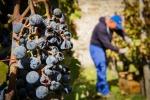 Vino: Consorzio Doc Sicilia, produzione sarà sotto media