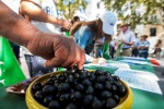 Ue studia contromisure dopo dazi su olive spagnole