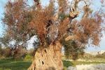 Xylella: Regione Puglia,approvate procedure per sito indenne