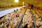 Mipaaft, approvate misure di sostegno a settore avicolo