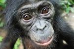 Un esemplare di bonobo (fonte: Lola ya Bonobo Sanctuary)