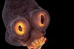 Sembra uscito dall'inferno la minuscola tenia del maiale (fonte: Teresa Zgoda/Nikon Small World)