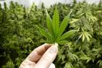 Cannabis, controllati 51 negozi a Reggio dopo la sentenza della Cassazione