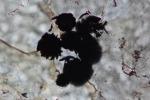 L'immagine al microscopio mostra i grani scuri di grafene che potrebbero essere la spia di antiche forme di vita (fonte: Komiya et al. , Nature)