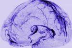 Rappresentazione grafica del sistema con cui il cervello drena le sostanze di scarto (fonte: Reich Lab, NIH/NINDS)