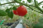 I pomodori del futuro: cresceranno sui tetti dei grattacieli e nello spazio