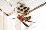 Anche le vespe fanno parte della comunità clandestina insediata nelle case (fonte: Matt Bertone, North Carolina State University)
