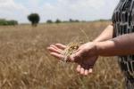 Arriva il Capodanno del Mugnaio, 'patto' per grano sicuro