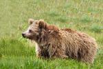 Anche l'orso bruno himalayano tra le specie che avrebbero alimentato la leggenda dello yeti (fonte: Abdullah Khan, Snow Leopard Foundation)