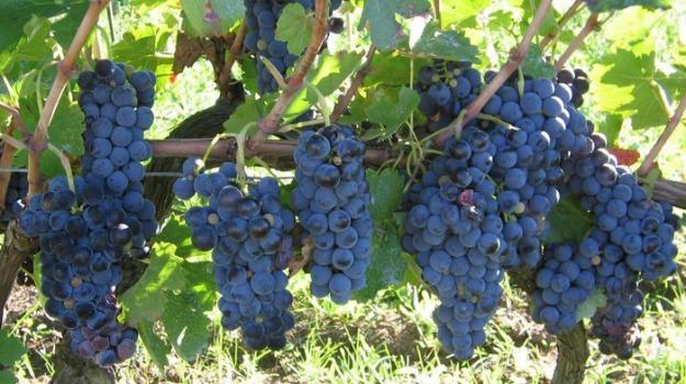 coldiretti, vendemmia, vino, Sicilia, Economia