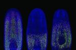 Le planarie sono ricche di cellule staminali, indicate in verde (fonte: Prasad Abnave)