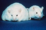 Sperimentazione animale, al via tavolo su metodi alternativi
