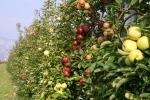 Mele, produzione italiana stimata in quasi 2,2 mln tonnellate