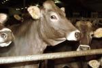 Mandrie di bovini al pascolo sulle strade di Taurianova, denunciati 3 allevatori