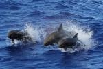 Cetacei della famiglia dei delfini (fonte: NOAA, Andrea Bendin)