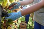In vigneto Friuli V.G. Pinot Grigio e Merlot i più coltivati