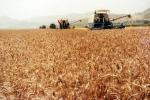 Aidepi, produzione grano stabile in Italia, +4,3% nel mondo