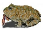 Una rappresentazione artistica della rana Belzeebufo (fonte: Nobu Tamura)