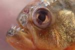 Anche il piranha nel nuovo albero evolutivo dei pesci ostariofisi (fonte: Prosanta Chakrabarty, LSU)