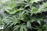 Cannabis, per la Cassazione è reato vendere prodotti derivati