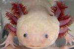 La salamandra messicana assolotto (fonte: Karen Echeverri, University of Minnesota)